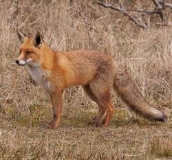 Fox Removal Service